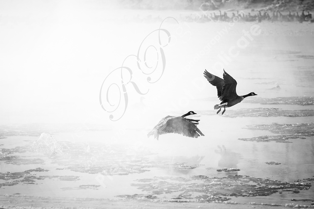 Canada Geese along the Bow River near Southland Dog Park in Calgary. It was an extremely cold winter day in Calgary (-26 °C) and the birds were covered in ice from the icy fog and mist hanging over the river. Cold and beautiful!<br /> <br /> ©2012, Sean Phillips<br /> http://www.RiverwoodPhotography.com