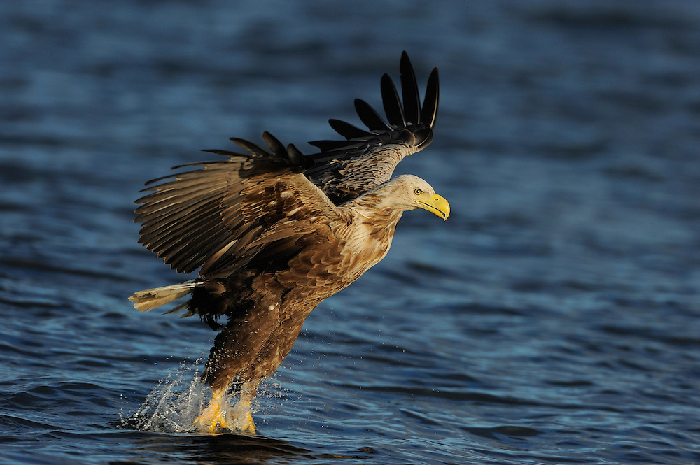 White tailed Sea eagle, Haliaeetus albicilla, The Living Sea, North Atlantic, Flatanger, Nord-Trondelag, Norway