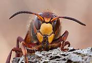 European Hornet; Vespa crabo; face;  PA, Philadelphia, Fairmount Park, Wissahickon