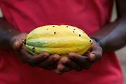 Prince harvests a healthy Cocoa pod, Ghana.