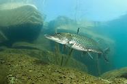 Northern Pike, Underwater