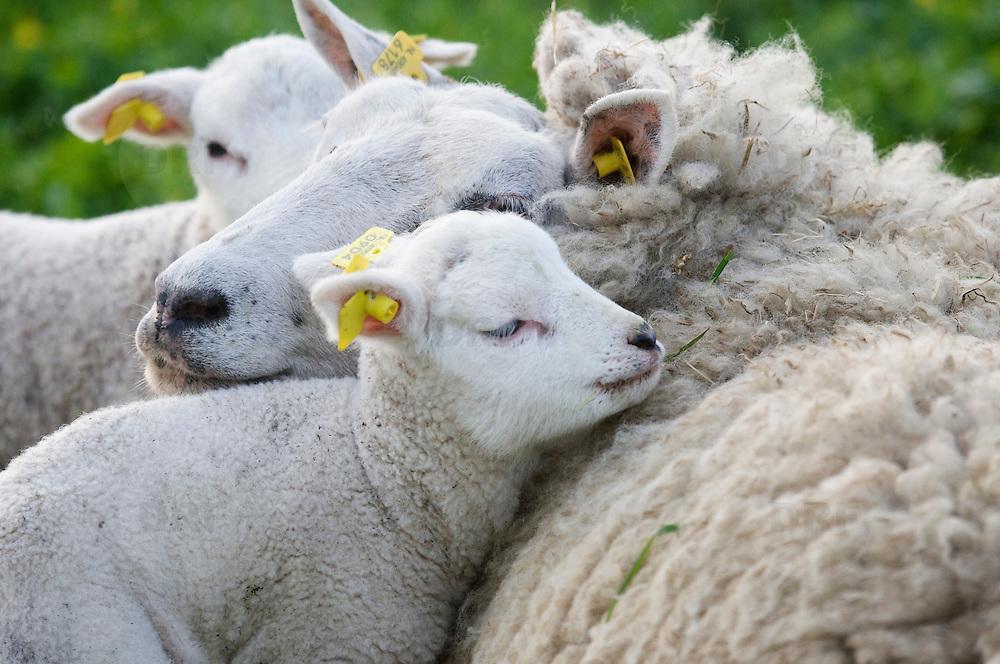Nederland Barendrecht 5 april 2009 20090405 Foto: David Rozing ..Jonge lammetjes in de wei, lente, lenteweer.Little lambs in field in springtime..Foto: David Rozing