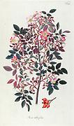 Hand painted botanical study of rose (rosa) bush from Fragmenta Botanica by Nikolaus Joseph Freiherr von Jacquin or Baron Nikolaus von Jacquin (printed in Vienna in 1809)