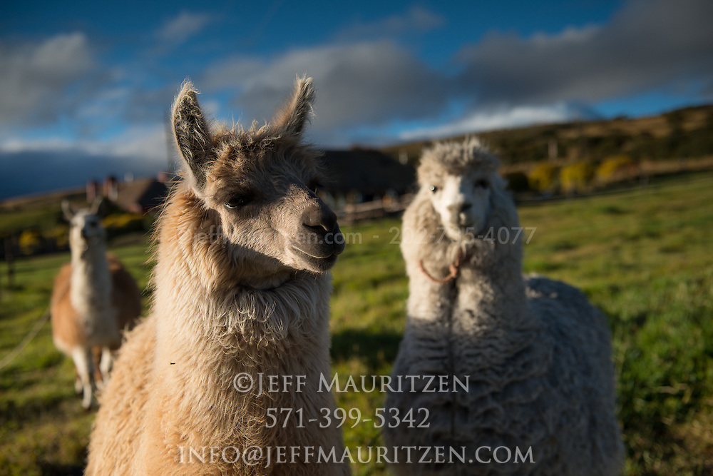 Llamas and alpacas on a hacienda high up in the Andes mountains of Ecuador.