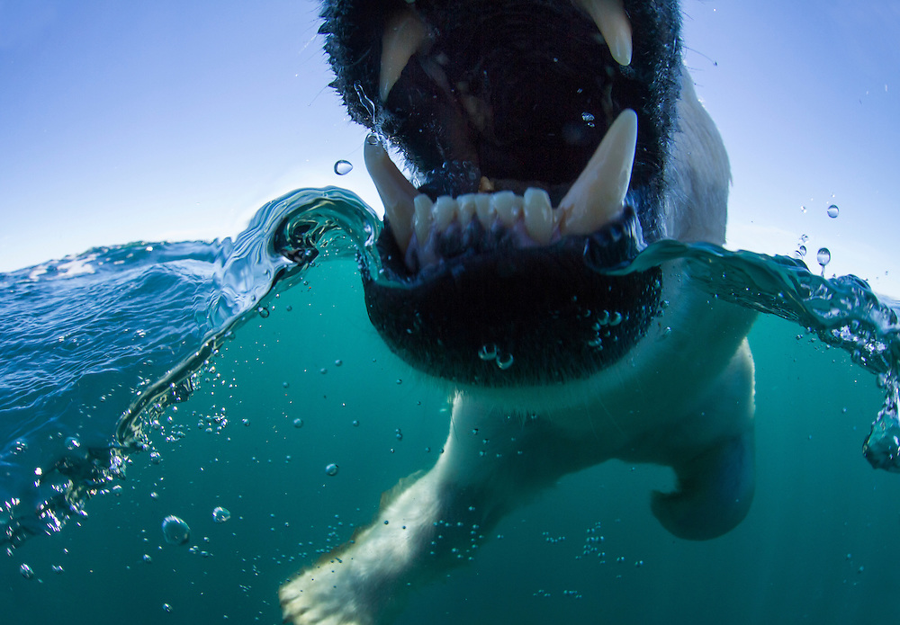 Canada, Nunavut Territory, Polar Bear (Ursus maritimus) opens mouth to bite at camera dome while swimming in Roes Welcome Sound along Hudson Bay
