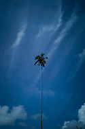 Lone palm tree, Ella, Sri Lanka, Asia