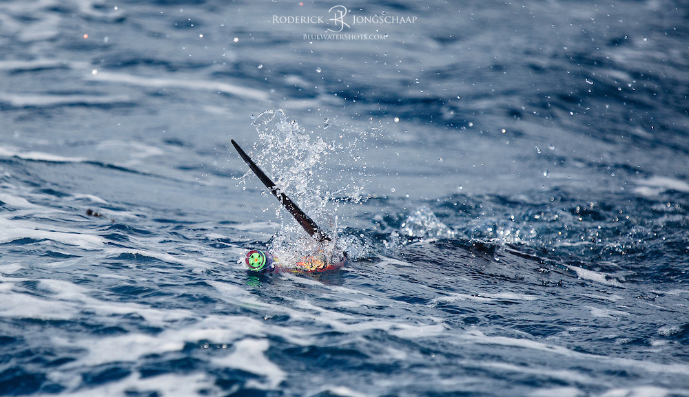 Sailfish about to strike a fly