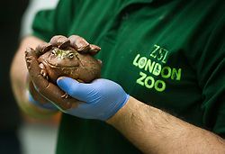 © Licensed to London News Pictures. 03/01/2013 London, UK. Keeper Grant Kother holds a Bullfrogat the annual stocktake of every animal at London Zoo, Regents Park, London. The compulsory count is required as part of the zoo's licence and every creature, great or small will be accounted for..Photo credit : Simon Jacobs/LNP