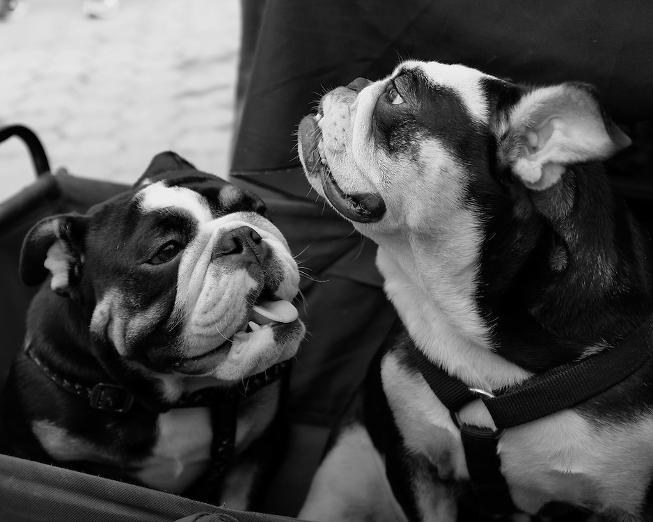 Rescued English Bulldog Pups Simmi and Sammi of Long Island Bulldog Rescue