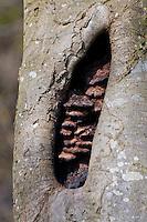 Switzerland. Springtime. Close-up of fungi inside a hollow tree.