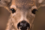 Young Mule Deer (Odocoileus hemionus) - close-up of nose, face and eyes; Toiyabe National Forest, Sierra Nevada Mountains, California, USA.