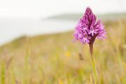 A Pyramidal Orchid growing along the Purbeck coast, Dorset, UK