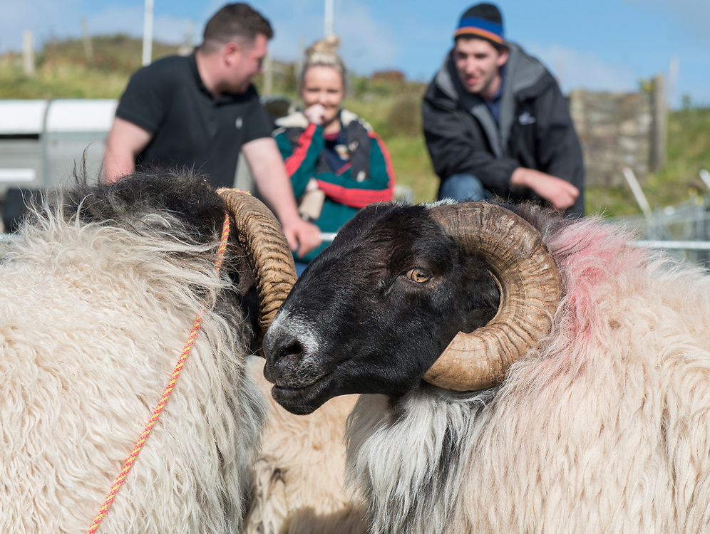 Clare Island Ram Fair &amp; Sheep Dog Trials.<br /> Blackfaced aged rams. Pic: Michael Mc Laughlin