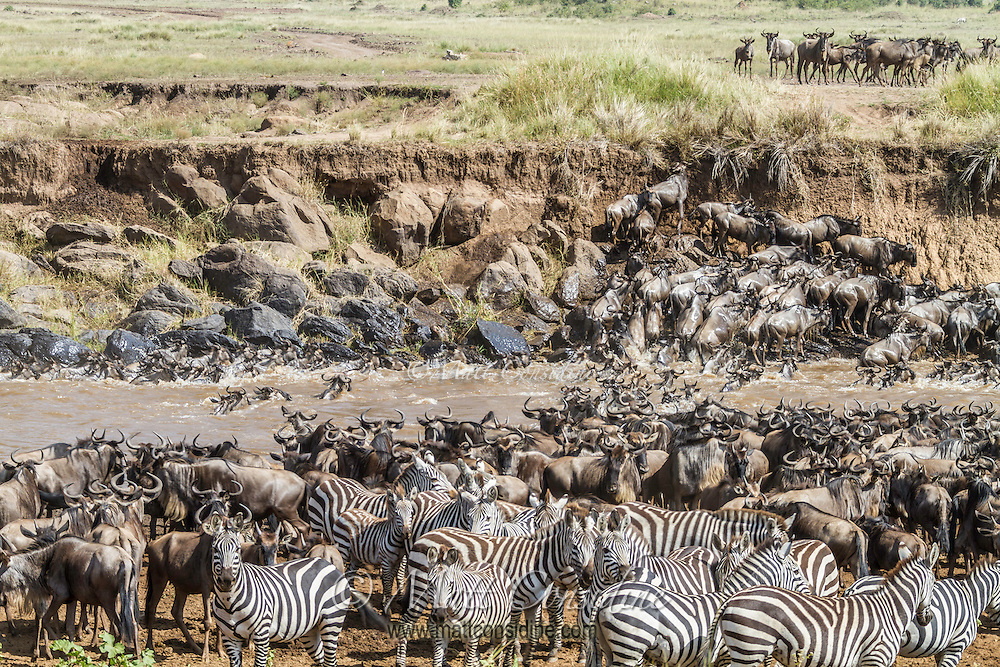 Wildebeest and zebra bottle necked by the threat of crocodiles when crossing the Mara River during migration in the Masai Mara Reserve, Kenya, Africa (photo by Wildlife Photographer Matt Considine)