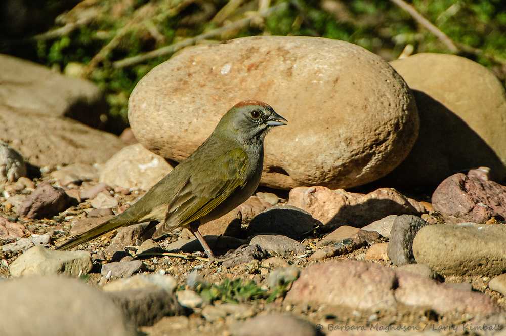 Green-tailed Towhee [Pipilo chlorurus]; Portal, Arizona