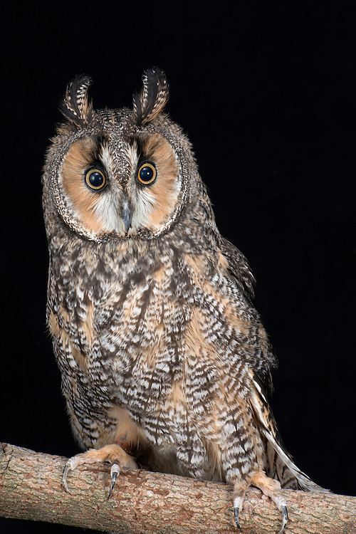 Long Eared Owl, (Asio otus), captive