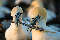 Cape Gannet pair bonding with a discarded feather, Malgas Island, Western Cape, South Africa