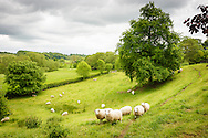 Sheep grazing in verdant countryside, near Swettenham, Cheshire.