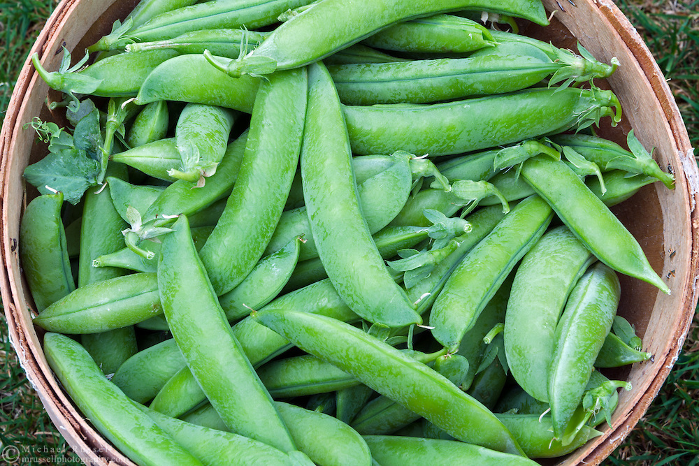 A bushel of organic peas (Lincoln Homesteader) freshly picked from a backyard vegetable garden