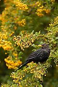 Blackbird (Turdus merula) eating berries, New Zealand