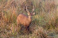 Indian hog deer, Kaziranga National Park, India