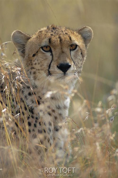 A cheetah hides in the brush.