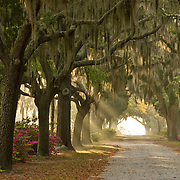 Early morning sun rays break through a row of Live Oak Trees at Bonaventure Cemetery in Savannah, Georgia