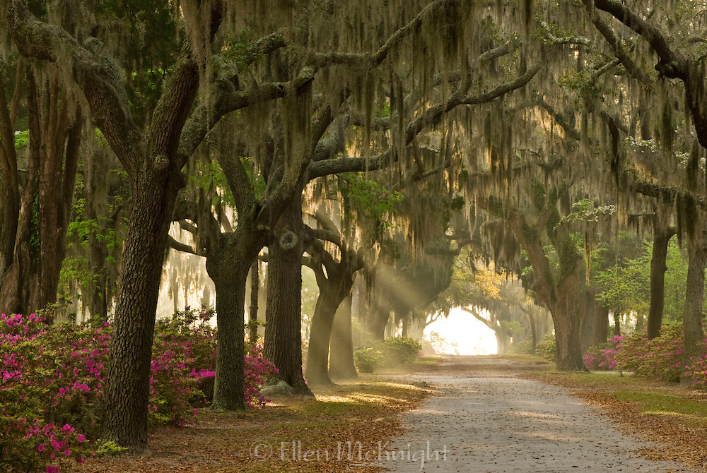 Early morning sun rays break through a row of Live Oak Trees at Bonaventure Cemetery in Savannah, Georgia