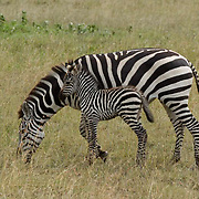 Burchell's Zebra (Equus burchelli) Mother with young. Serengeti National Park. Tanzania. Africa. February.