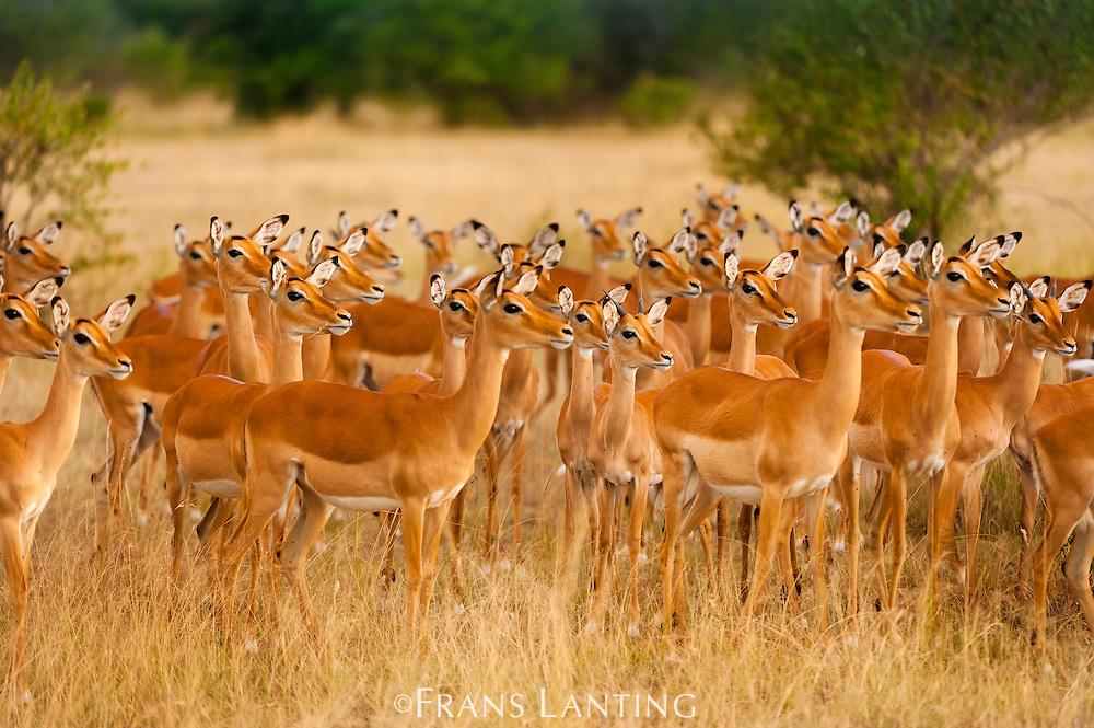 Impala females alarmed, Aepyceros melampus, Masai Mara National Reserve, Kenya