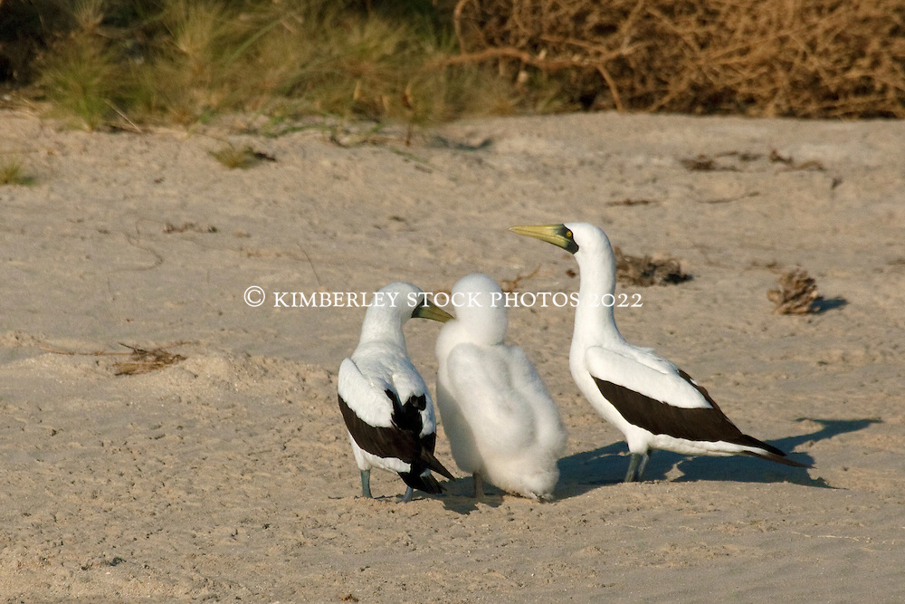 Masked Booby (Sula dactylatra) parents tend to their chick on Adele Island, north Broome on the Kimberley coast.  Adele is an important nesting site and rookery for the birds.  Prior to this shot, one of the parents had chased away a Brown Booby.
