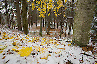 The first snowfall of the winter covers the maple leaves at Walden Pond.