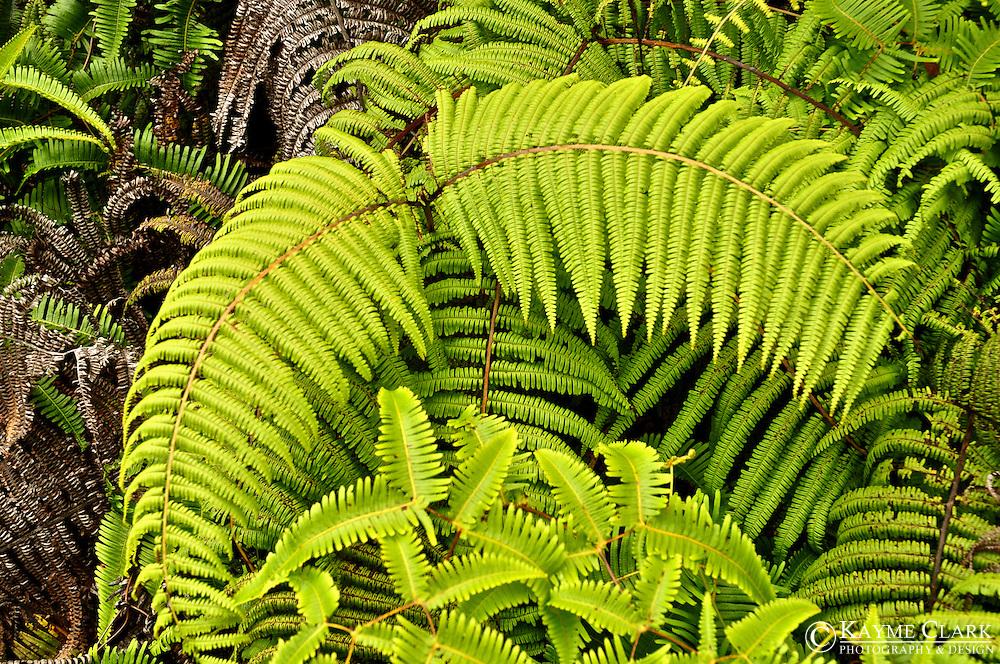 Waimea Canyon, Waimea Canyon State Park, Koke'e State Park, Na Pali-Kona Forest Reserve, Pihea Trail and Vista - Kaua'i, Hawaii, United States