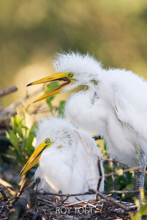 Pair of baby great egret chicks sitting in a nest.