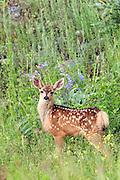 Mule Deer Fawn in Habitat