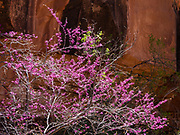 Redbud tree, pink flowers (Cercis genus). Hike the Hermit Trail from Hermits Rest to Lookout Point. Grand Canyon National Park, Arizona, USA. Starting at least 5 to 17 million years ago, erosion by the Colorado River has exposed a column of distinctive rock layers, which date back nearly two billion years at the base of Grand Canyon. While the Colorado Plateau was uplifted by tectonic forces, the Colorado River and tributaries carved Grand Canyon over a mile deep (6000 feet), 277 miles  long and up to 18 miles wide.