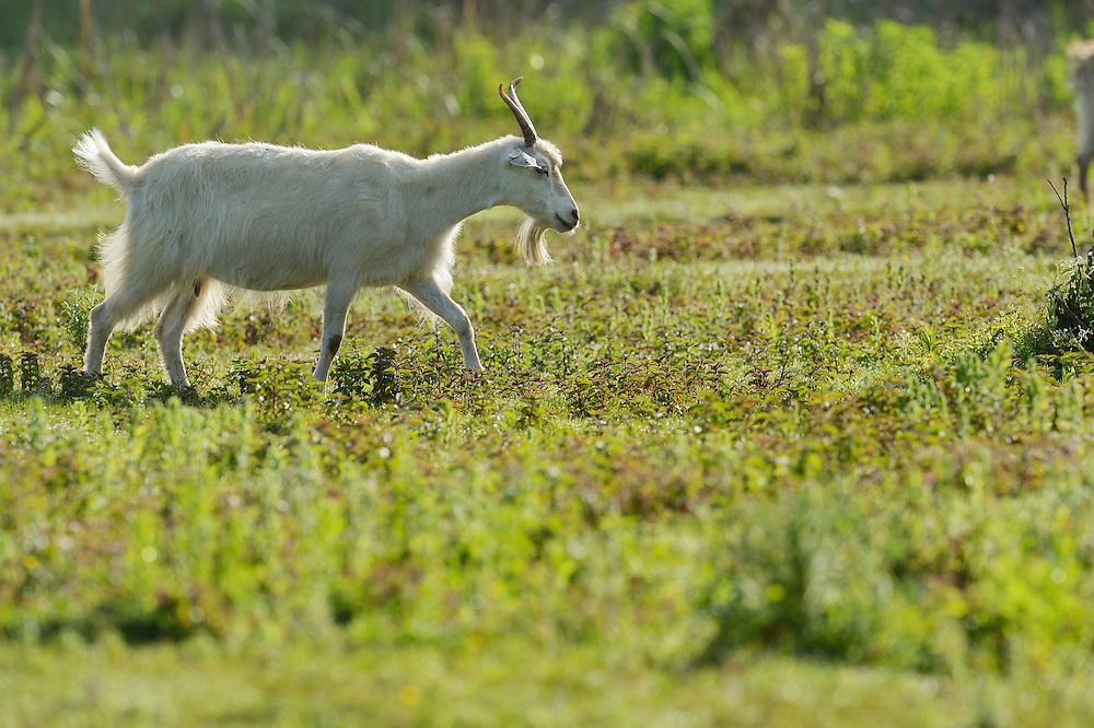 Domestic goat, Letea, Danube delta rewilding area, Romania
