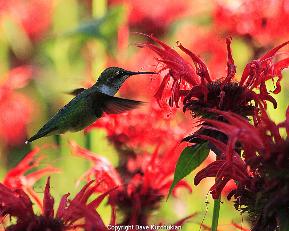 female humming bird feeding at beebaum garden,