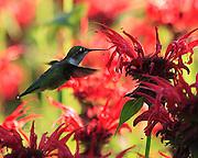 female humming bird feeding at beebaum garden,