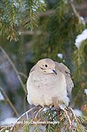 01081-01206 Mourning Dove (Zenaida macroura)  in spruce tree in winter, Marion Co., IL