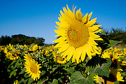 a big sunflower fully in bloom sticking out in the field