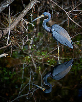 Great Blue Heron. Winter Nature in Florida Image taken with a Nikon D4 camera and 80-400 mm VRII telephoto zoom lens
