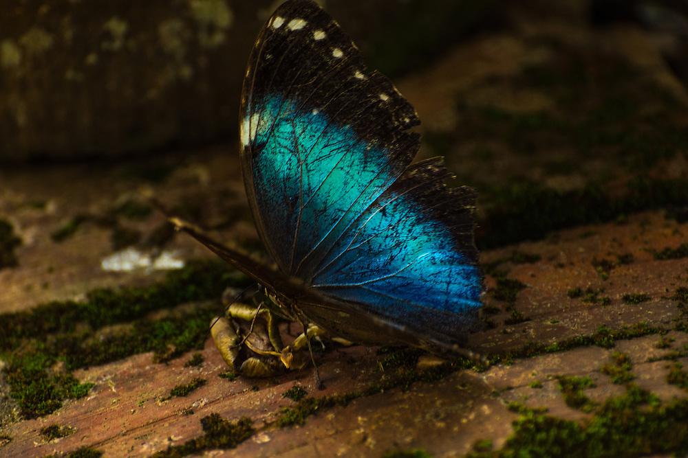 Blue morpho butterfly, Bonito, Brazil.