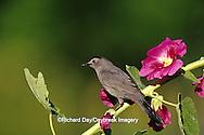 01392-012.09 Gray Catbird (Dumetella carolinensis) on Hollyhock (Alcea rosea) Marion Co.  IL