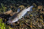 Headwater Catfish, Underwater