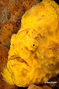 longlure frogfish or anglerfish, Antennarius multiocellatus, hiding in yellow sponge, Dominica ( Caribbean Sea )