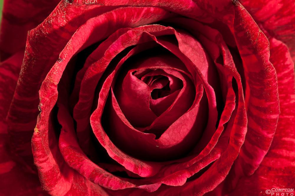 Red Tiger Rose Close Up
