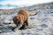 A domestic cat digging a hole at a Hawaiian beach