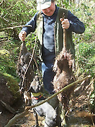 Giant River Rats Captured in France<br /> These two Large River Rats where captured in France by a huntsman known as the river rat, Adults are typically 4–9 kg (8.8–19.8 lb) in weight, and 40–60 cm (16–24 in) in body length, with a 30- to 45-cm (12- to 18-in) tail. It is possible for coypu to weight up to 16 to 17 kg (35 to 37 lb), although adults usually average 4.5 to 7 kg (9.9 to 15.4 lb)<br /> They use flowing water to travel around (streams, rivers, even ditches) but breed on still water -- canals and ponds/lakes. If there's no water on your land, it's unlikely you'll ever see one, although they might use any ditches as pathways on the way to somewhere else.<br /> ©Exclusivepix Media