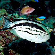 Blackstripe Angelfish inhabit reefs; picture taken Lembeh Straits, Sulawesi, Indonesia